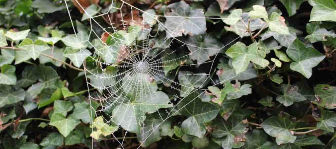 Spinnenweb aan Klimop